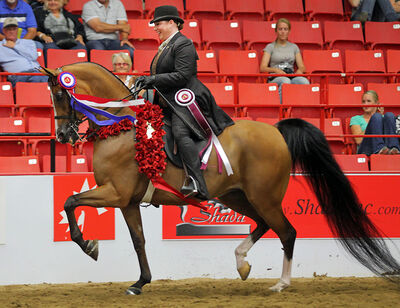 Debra Page rides Majic Trick out of the main arena after winning the Half Arab Country English Pleasure category during the Canadian National Arabian & Half- Arabian Championship Horse Show at the Keystone Centre last August.