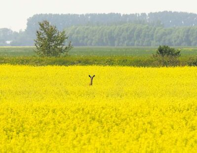 Marc Gallant / Winnipeg Free Press Archives Looking ahead to this year's crop, experts say spring wheat is making a comeback because it's lucrative for growers. However, canola will still remain the No. 1 crop across the Prairies.