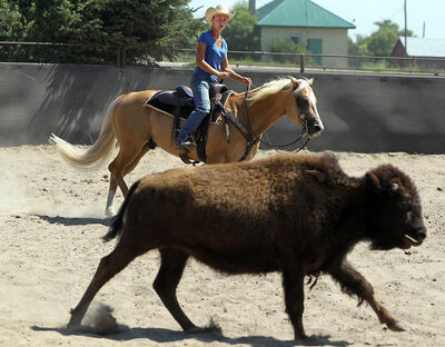 Sharra Sage rides alongside a young bison in an enclosure at Thunderbird Horse Center south of Brandon on Tuesday. The bison is used to train horses to work with cattle.