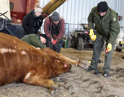 Conservation officers Gerry Pidborchynski (kneeling) and Don Baker, along with Colin Hunter and his daughter, Katie, inspect a cow that was shot dead on the Hunters' farm — located between Rivers and Rapid City — over the weekend. The cow was six weeks from giving birth.