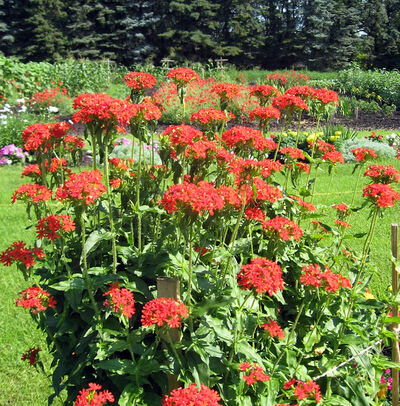 Over time Maltese cross form large clumps.