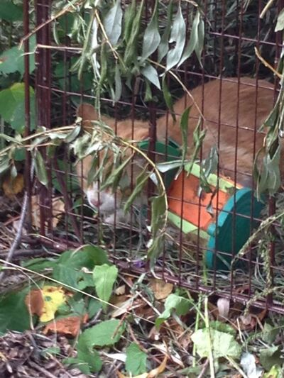 Butterscotch the cat sits in a cat trap Saturday morning after finally being caught. The device caught around his neck had slid so that he was able to eat and drink, but volunteers were still worried about his safety.