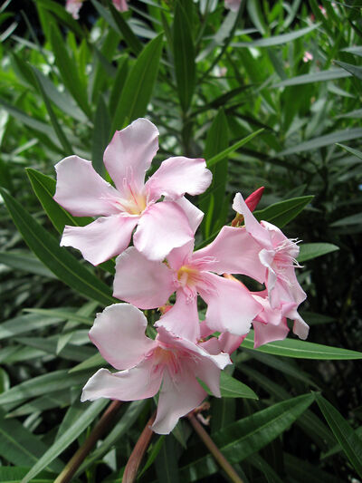 The flat-petalled flowers of oleander are attractive whatever colour they are, and are produced on the tips of the stems.