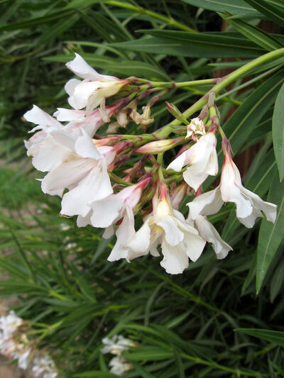 The long, narrow leaves of the oleander set off the attractive flower clusters which sometime become somewhat pendulous with the weight of several flowers as this white specimen has done.
