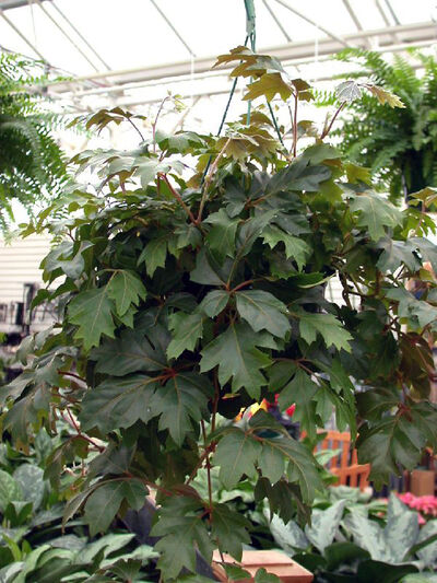 This oak-leaf grape ivy is a handsome hanging specimen.