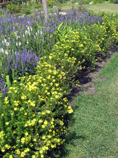 Potentilla is used as a short hedge around the outside of this flower border.