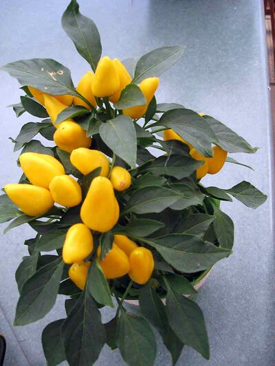 The yellow peppers on this specimen will gradually change colour, first to orange, then to red.