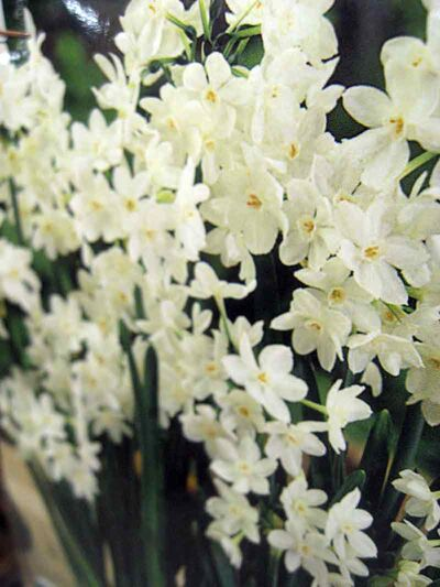 A container of paperwhite narcissus in full bloom is a remarkable sight.