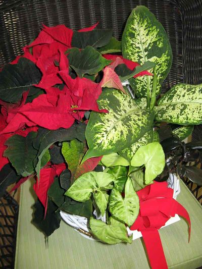 Refurbish this basket by removing the poinsettia and dieffenbachia while retaining the arrowhead and the peperomia; add a third foliage plant, perhaps an ivy.