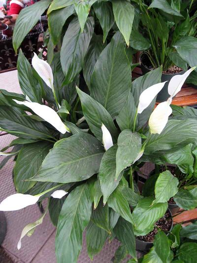 Plants, including this one, will look more attractive if dust is removed from the leaf surfaces.