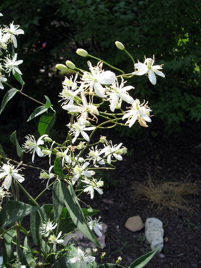 Prairie Traveller's Joy produces clusters of small, white, starred-shaped blooms.