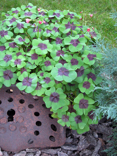 A rusty implement seat contrasts with the smooth oxalis leaves while a nearby juniper's blue-green foliage provides more contrast.