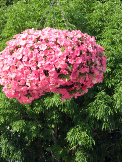 Trailing petunias, like this coral beauty, create giant balls of colour.