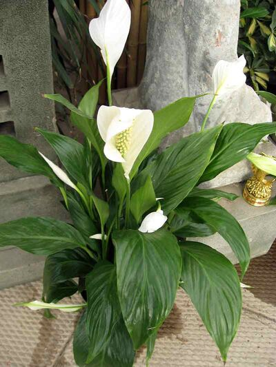 A peace lily makes a nice specimen plant in the indoor landscape.