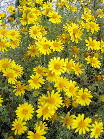 Dahlberg daisy is a good filler because it blooms all summer.