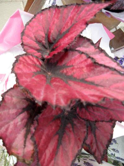 Many rex begonias have mottled shading of several colours on their leaves. This red-leafed rex begonia makes a bold statement in the interior landscape.
