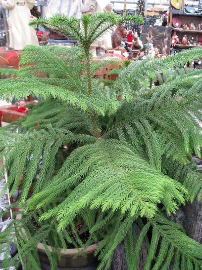 Perhaps you purchased an undecorated Norfolk Island pine, such as this one displayed at The Green Spot, and added your own decorations.