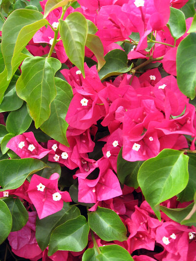 The actual flowers of bougainvillea, which are very short-lived, are seen here inside the colourful bracts of this dark red variety.