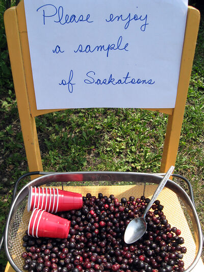 Ppen gardens offer many surprises. The Lewis-Smith garden offered samples of fresh-picked saskatoons.