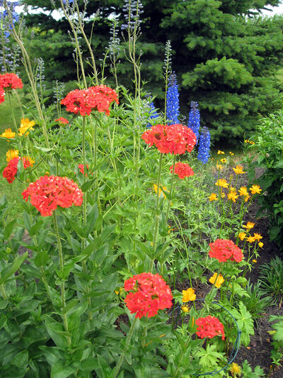 Blue delphiniums and golden trollius are good companions for scarlet lychnis.