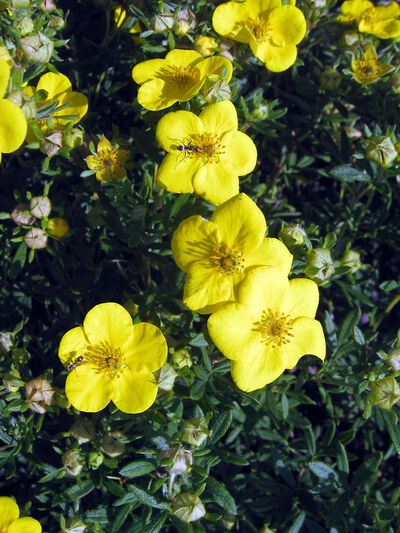 Nothing rivals the brilliance of golden-yellow potentilla blossoms.