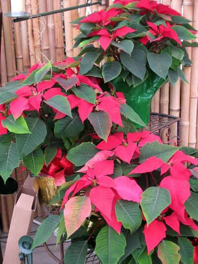 A plant stand and three poinsettias create an attractive display at the Green Spot.