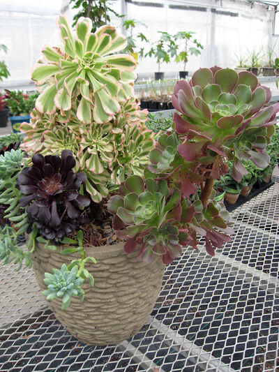 This container of Echeverias contains several interesting varieties including the dark purple one used as a focal point. A couple of the plants have become elongated; eventually they will be cut off to start new plants.