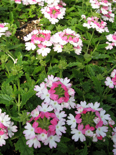 Annual verbena has a trailing habit and comes in various bright colours.