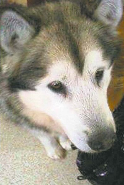 Shadow, one of the malamutes. Malamutes are generally known as a friendly breed, but there have been cases where they have fatally attacked children before, a Winnipeg Humane Society spokesman said Monday.