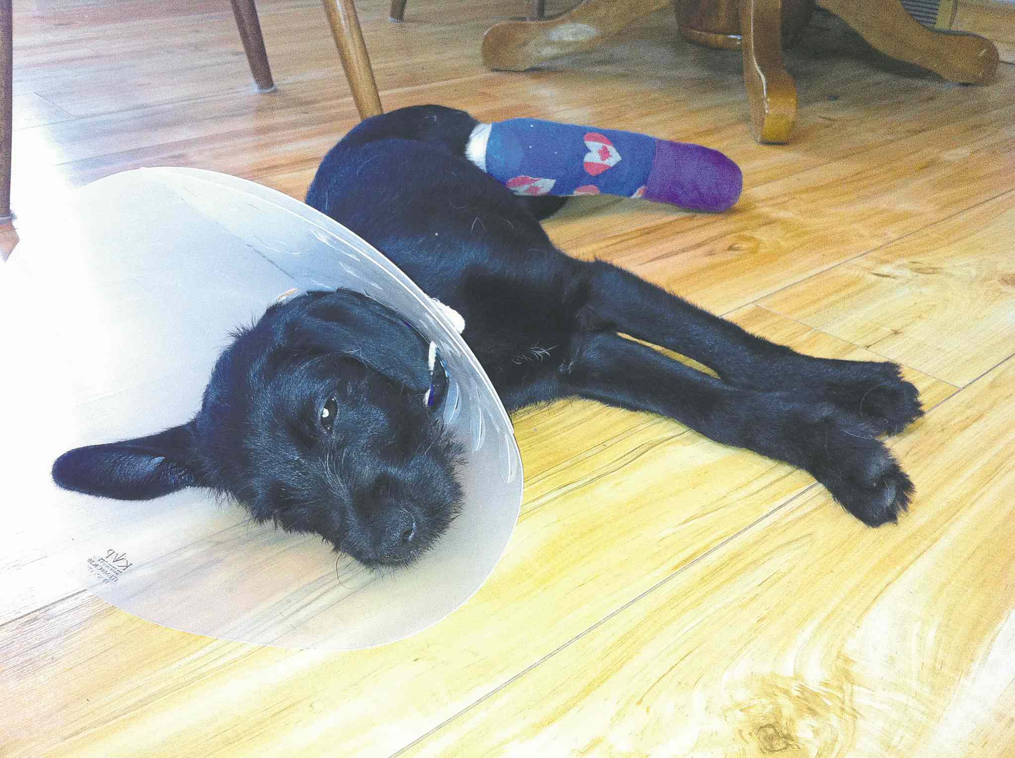 Boo Boo is a three month old Terrier cross with a fractured hind leg.