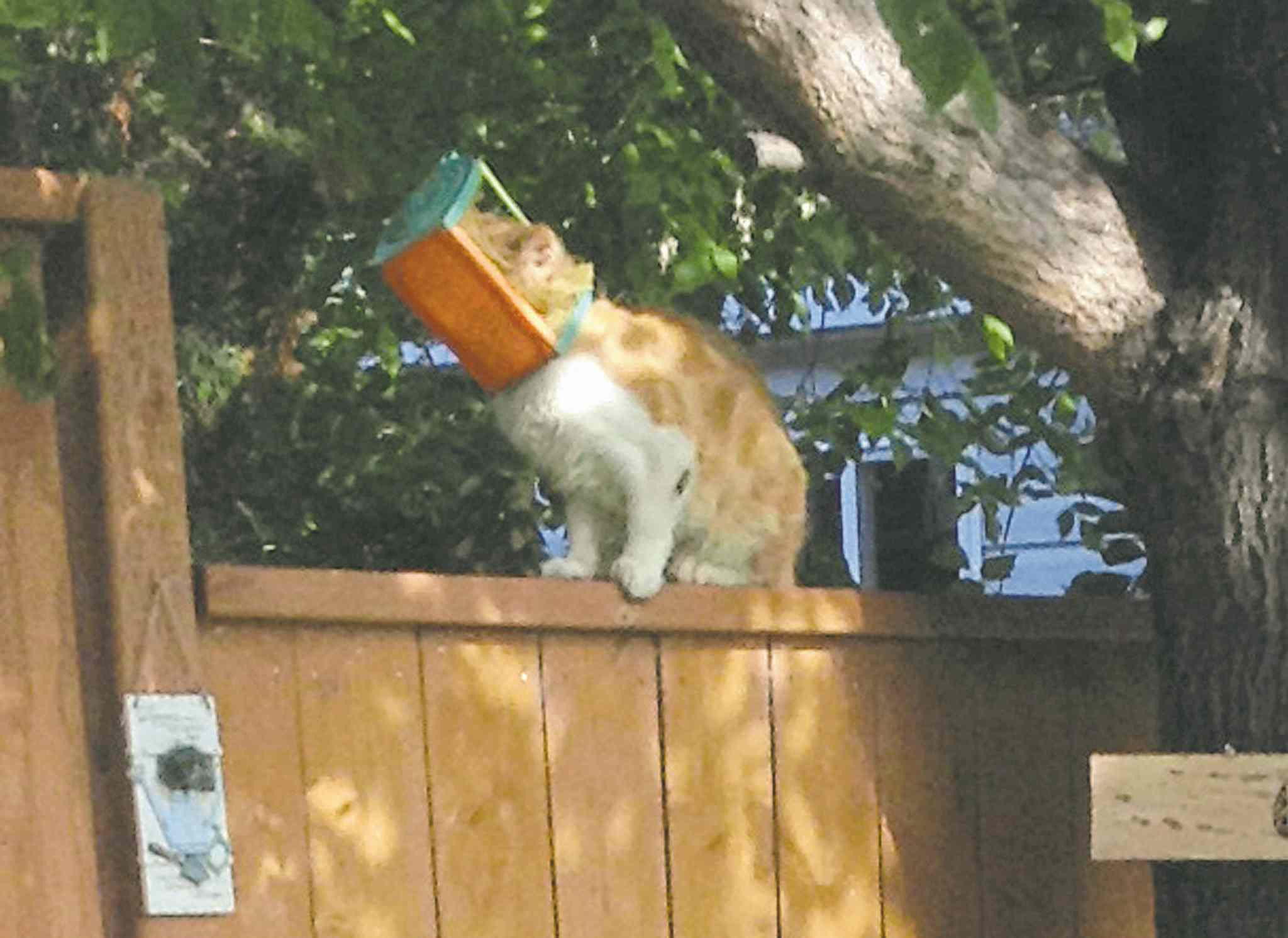 Brandon and Area Lost Animals volunteers continue to try to catch Butterscotch, a cat with its head stuck in a small bird feeder. Efforts to captured the cat have been sabotaged by a local man.