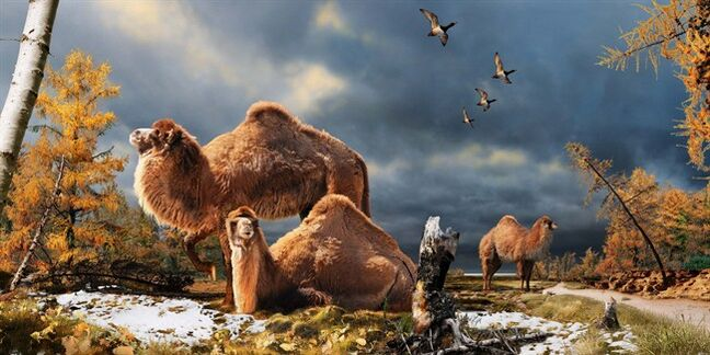 An illustration of the High Arctic camel on Ellesmere Island during the Pliocene warm period, about three-and-a-half million years ago. The camels lived in a boreal-type forest. The habitat includes larch trees and the depiction is based on records of plant fossils found at nearby fossil deposits. THE CANADIAN PRESS/HO-Julius Csotonyi