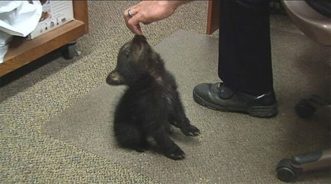 In this image from KPIC-TV video Tuesday, May 20, 2014, police in Myrtle Creek, Ore., watch after a female bear cub dropped off at the police station after a boy found the cub inside the city limits Monday, May 19, 2014. The Oregon Department of Fish and Wildlife transferred the cub to a wildlife center near Corvallis. Tim Walters with ODFW said Thursday, May 22, that the cub will likely be sent to a zoo. (AP Photo/KPIC-TV)