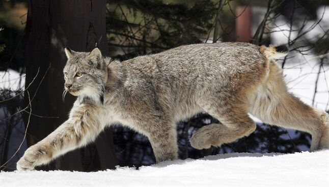 FILE - in this April 19, 2005 file photo, a Canada lynx heads into the Rio Grande National Forest after being released near Creede, Colo. U.S. wildlife officials revealed Monday, June 9, 2014, that they expect to complete a recovery plan for imperiled Canada lynx in early 2018, almost two decades after the snow-loving wild cats first received federal protections. (AP Photo/David Zalubowski, File)
