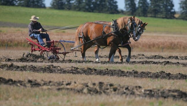 Alex Christison leads his team of horses in the Manitoba Provincial Plowing Match held near Alexander in 2010. The two-day event featured horse plowing, vintage plowing classes and world-style conventional classes.