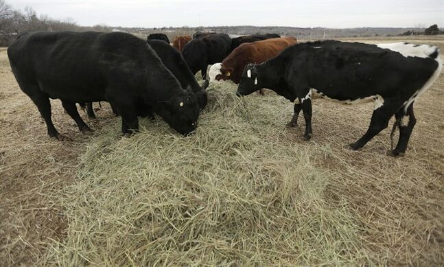 In this Tuesday, Feb. 12, 2013 photograph, cattle feed on a farm near Big Springs, Kan. Years of drought are reshaping the U.S. beef industry with feedlots and a major meatpacking plant closing because there are too few cattle left in the United States to support them. (AP Photo/Orlin Wagner)
