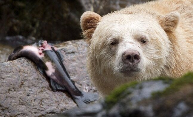 A dead salmon lays behind a Kermode bear, better know as the Spirit Bear as he fishes in the Riordan River on Gribbell Island in the Great Bear Rainforest, B.C. Wednesday, Sept, 18, 2013. B.C.'s Coastal First Nations hope to convice grizzly bear hunters to swap their rifles for cameras, bullets for memory cards and scopes for telephoto lenses in an area of the province known as the Great Bear Rainforest. THE CANADIAN PRESS/Jonathan Hayward