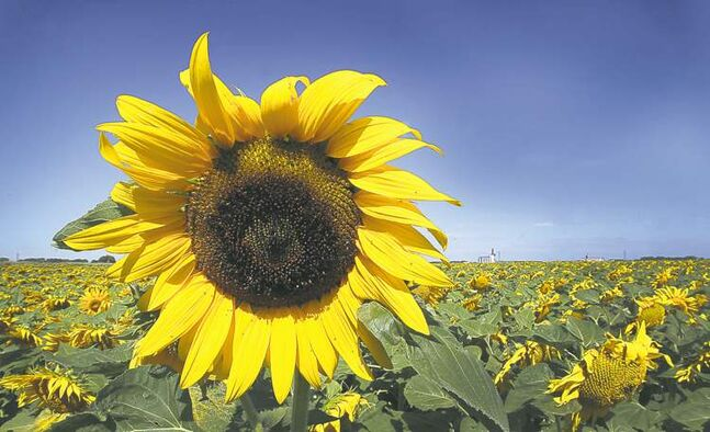 A recent Washington Post travel article noted Manitoba's fields of sunflowers.