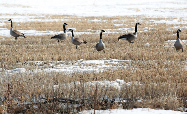 Canada geese congregate in a snow-cleared area of a field southwest of Brandon on Wednesday. Thursday marked the first day of spring, although it won't feel like it for a while.