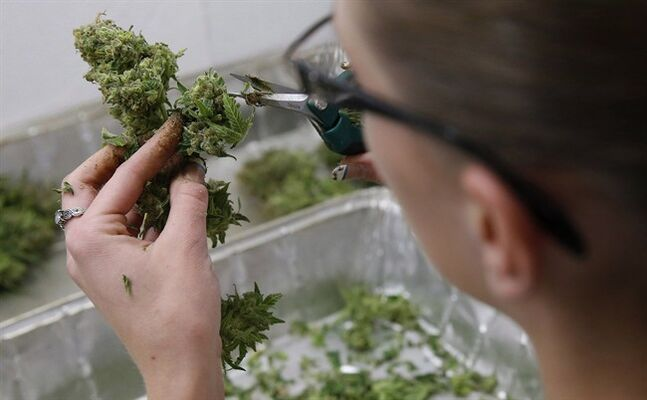 In this Dec. 27, 2013 photo, an employee trims away unneeded leaves from pot plants, at a marijuana dispensary in Denver. THE CANADIAN PRESS/AP, Brennan Linsley