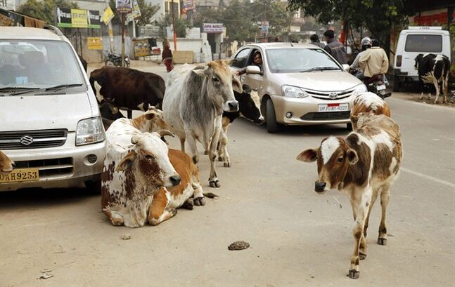 Motorists drive past stray cows roam on a road in Allahabad, India, Friday, Jan. 31, 2014. Several of India's most popular car models crumpled in independent crash tests in ways that would likely lead to fatality or serious injury, a global car safety watchdog said Friday. The lack of safety features, combined with reckless driving and shoddy roads, has helped give India a road death rate that is more than six times as high as that of the United States and nearly three times China's rate, according to the World Health Organization's 2013 road safety report on the number of deaths compared with the size of a country's car fleet. (AP Photo/Rajesh Kumar Singh)