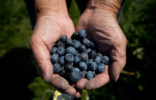 Howard Shimokura holds freshly picked blueberries after plucking them off bushes at Emma Lea Farms in Ladner, B.C., on Monday July 21, 2014. THE CANADIAN PRESS/Darryl Dyck