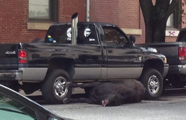 A cow shot by Baltimore police lies on a city street Friday, June 13, 2014. Police say the animal escaped from a city slaughterhouse and was shot after concerned business owners contacted police. (AP Photo/Juliet Linderman)