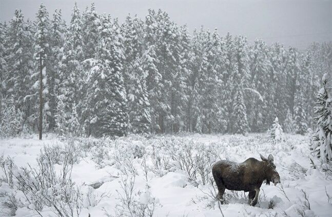 A moose makes its way through a snowy field near Lake Louise, Alta. on November 23, 2012. Alberta officials say the discovery of one moose with chronic wasting disease doesn't mean the infection could spread through the province's entire population of the animals. THE CANADIAN PRESS/Jonathan Hayward