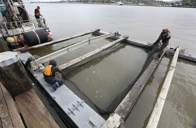 In this photo taken Thursday, April 24, 2014, nets are suspended on a pontoon barge that will be loaded with young Chinook salmon at Mare Island, Calif. The young fish, called smolts, were transported out into the San Pablo Bay and released. Due to the worst drought that California has faced in 40 years, state and federal wildlife officials fear that the smolts, normally released upriver near the hatcheries were they were spawned, would not survive low river flows, warm water and predators to survive the journey to the ocean. (AP Photo/Rich Pedroncelli)