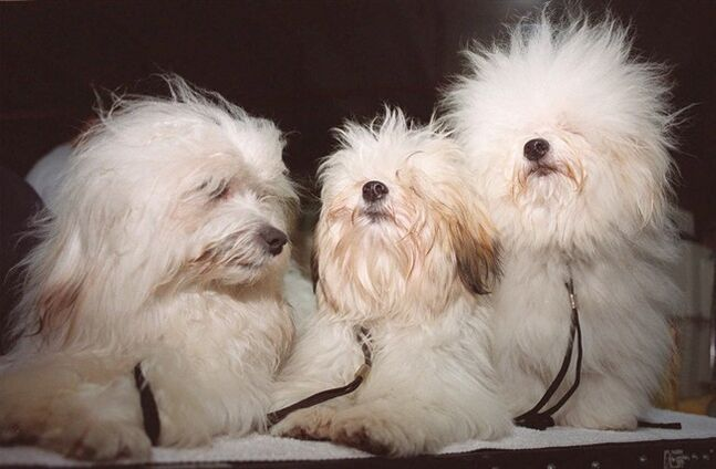 Coton de tulear dogs wait for their turn to compete at the World Dog Show in Mexico City on June 4, 1999. THE CANADIAN PRESS/AP, Jose Luis Magana