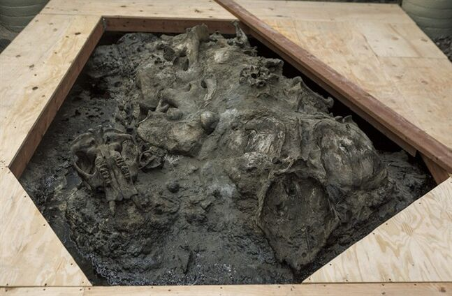 A juvenile American mastodon skull, left, and a Harlan's Ground Sloth pelvis, right, lay on trapped on top in natural asphalt at the 1952 Observation Pit building at the Page Museum La Brea Tar Pits in Los Angeles Thursday, June 19, 2014. The public will once again get an up-close view of scientists uncovering the bones of saber-toothed cats, mastodons and mammoths in the heart of Los Angeles. In late June, the museum will resume tours of the Observation Pit and the reactivated Pit 91. (AP Photo/Damian Dovarganes)