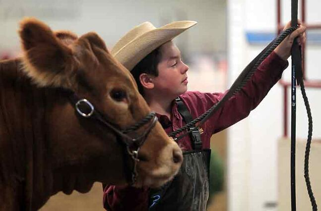 Angus Smyth of Roblin waits patiently with his Limousin heifer following a morning of showing at the Manitoba Livestock Expo on Friday.
