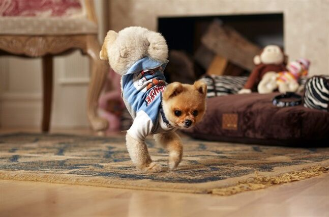 In this Oct. 4, 2013 photo provided by Guinness World Records, Jiff, a 4-year-old Pomeranian, walks on his two front legs on the floor in his Los Angeles home. Jiff blazed into the 60th edition of the Guinness World Records book due out Sept. 10, 2014 after running 10 meters (9.1 yards) on his hind legs in 6.56 seconds and 5 meters (4.55 yards) on his front paws in 7.76 seconds. (AP Photo/Guinness World Records, Kevin Scott Ramos) NO SALES NO ARCHIVING ONE-TIME USE ONLY