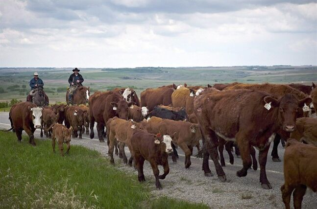 Cowboys move cattle northwest of Calgary, May 28, 2013. An agricultural economist says a new international outlook appears to flip the last 10 years of the farm industry on its head. THE CANADIAN PRESS/Jeff McIntosh